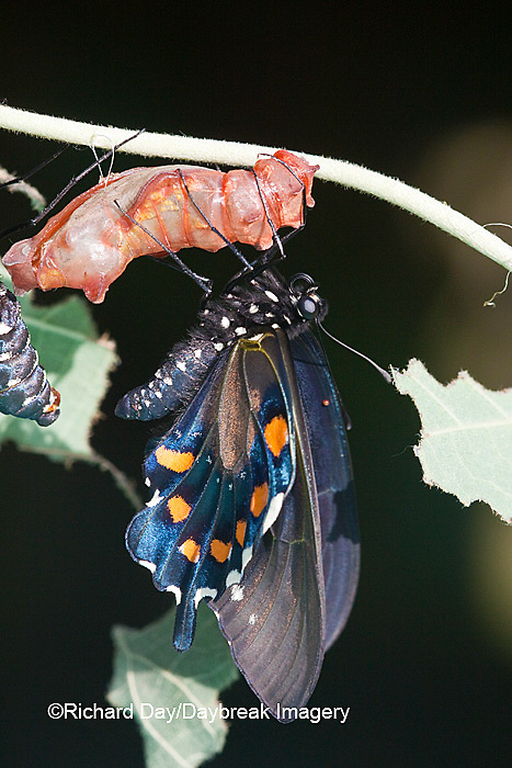 03004-012.19 Pipevine Swallowtail Butterfly (Battus philenor) emerging from chrysalis,  Marion Co., IL