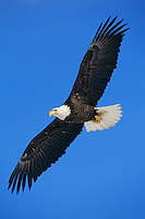Bald eagle (Haliaeetus leucocephalus) soaring.