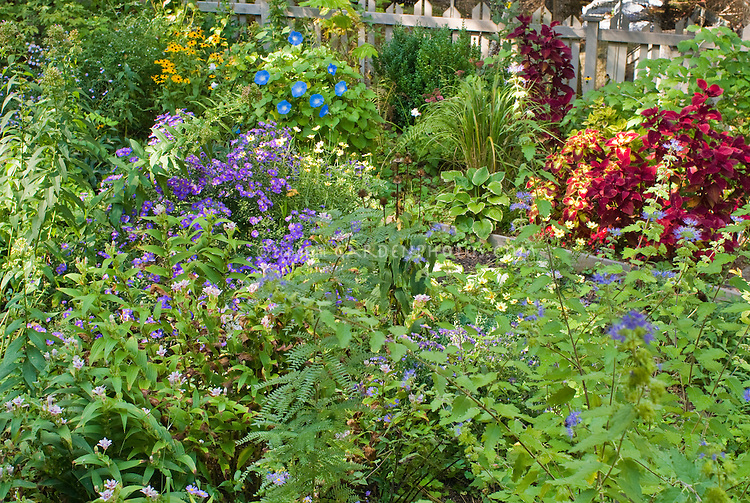 Beautiful perennial and annual flowers and foliage plants in September garden, early fall, with Aster Sapphire, morning glory vine Ipomoea purpurea Heavenly Blue, Rudbeckia, coleus Solenostemon, Caryopteris, Tricyrtis toadlily, hosta, ornamental grasses, picket fence, raised beds, for a ton of late color