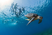 Green sea turtle (Chelonia mydas) with snorkelers. Marsa Alam. Res Sea (Egypt)