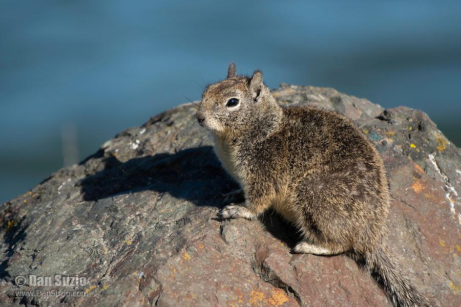 Beechey Ground Squirrel, Otospermophilus beecheyi, at Cesar Chavez Park, Berkeley, California