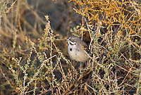 578830006 a wild sage sparrow amphispiza belli nevadensis perches on a sagebrush plant stem in kern county  california