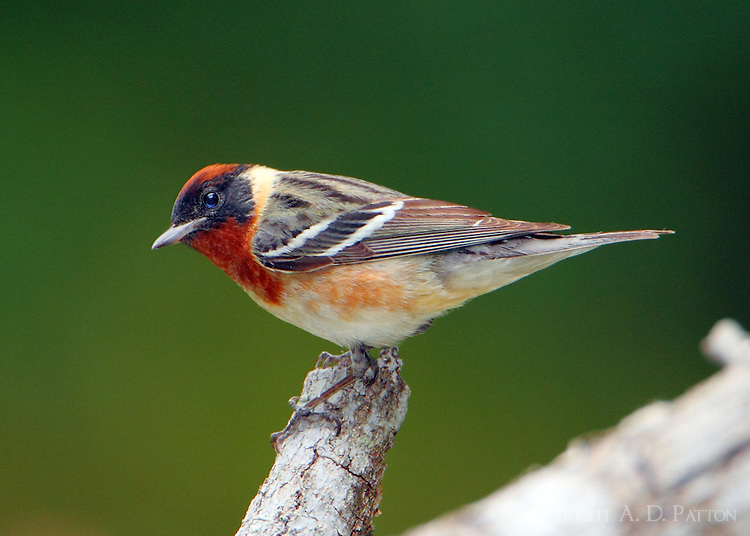 Male bay-breasted warbler