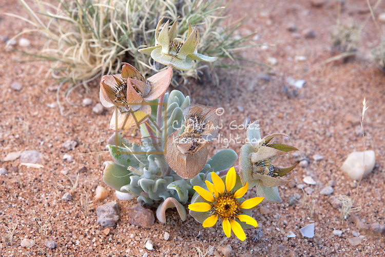 Desert shrub with yellow flower in the Sperrgebiet