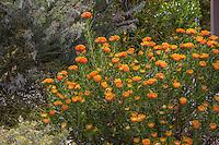 Leucospermum praecox 'Patricia' in California summer-dry garden with Australian plants; design Jo O'Connell