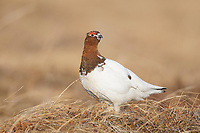 Adult male Willow Ptarmigan (Lagopus lagopus) in breeding or courtship plumage. Seward Peninsula, Alaska. May.