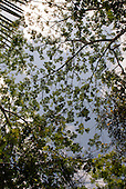 Pakissamba Village (Juruna), Xingu River, Para State, Brazil. Acacia tree.