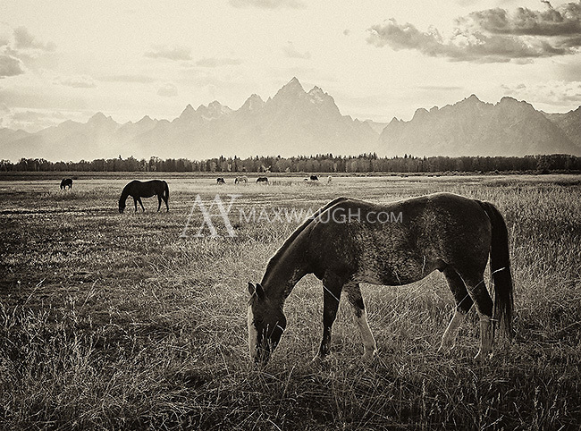 A herd of domestic horses makes for a nice subject in front of the backdrop of the Grand Tetons.