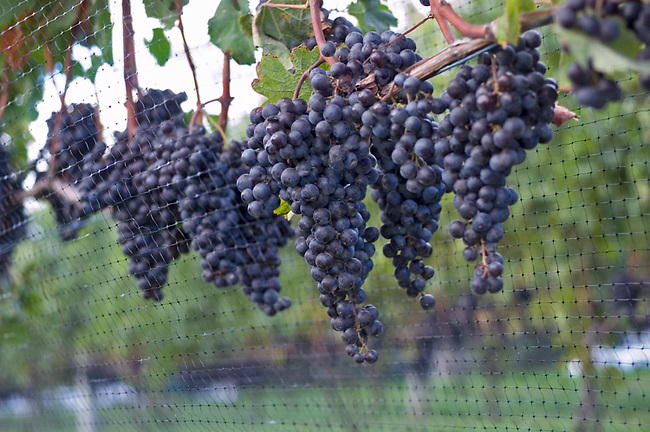 Merlot grapes ready for harvest on Long Island