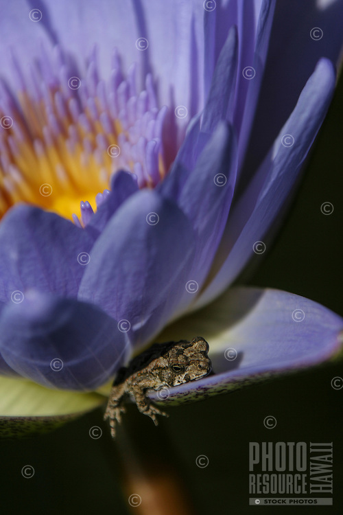 A close-up of a spotted frog resting on a purple and yellow lily, Hawai'i.