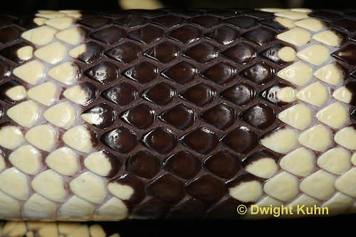 1R22-530z  California Kingsnake close-up of skin and scales, Lampropeltis getulus californiae