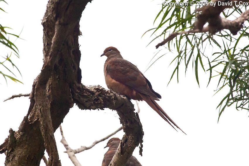 Brown Cuckoo-Dove, Springbrook NP, Queensland, Australia