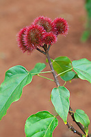 Zanzibar, Tanzania.  Rouge Plant, Lipstick Tree, Bixa Orellana.  The red pulp around the seeds inside the pods is used for lipstick, rouge, or in food as a coloring or flavoring agent.