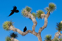 Ravens in a Joshua Tree