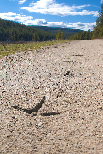 Tracks of a Sandhill Crane on a Forest Service road in the Big Hole Valley in Montana