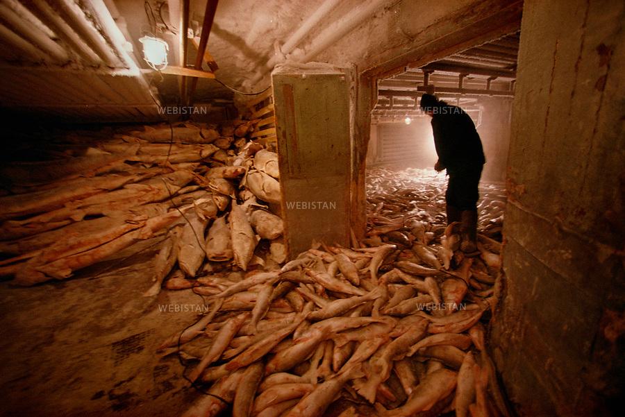 1997. On the Caspian seaside, an employee stands in a huge cold room, where thousands of sturgeons are kept in Atyrau fish factory, which was put into private hands after the fall of the Soviet bloc. Au bord de la mer Caspienne, un employé de l'usine de traitement du poisson d'Atyrau, qui a été privatisée après l'effondrement du bloc soviétique, travaille dans une immense chambre froide, où des milliers d'esturgeons sont conservés.