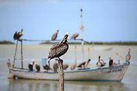 Adult Brown Pelicans (Pelecanus occidentalis) waiting for fisherman to return with their cach in a small harbor. Yucatan, Mexico. February.