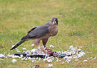 This adult female Cooper's hawk captured a male wood duck and proceeded to eat its flesh after removing most of its feathers.<br /> Woodinville, Washington<br /> 1/7/2014