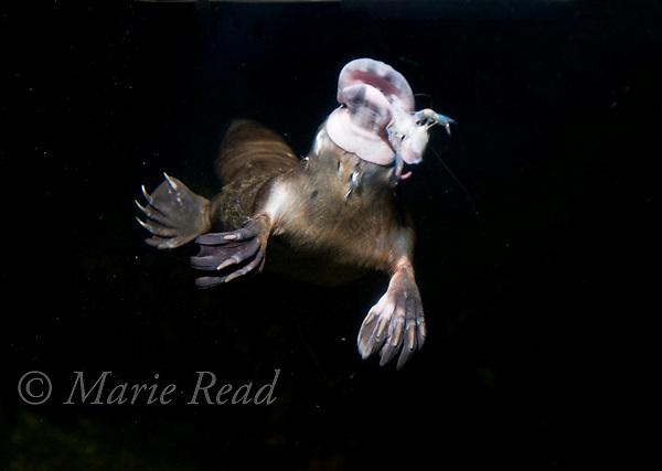 Platypus (Ornithorhynchus anatinus) swimming underwater with prey (crayfish) in its bill, captive, Sydney Aquarium, Sydney, New South Wales, Australia