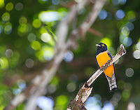 My first look at the violaceous trogon.