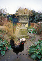 Heirloom White crested black Polish rooster in backyard garden free-range