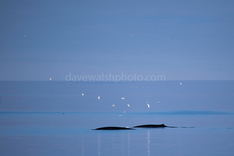Minke whale feeding off the coast of Svalbard.
