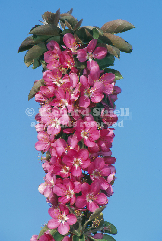 10296-CC Maypole Ornamental Crabapple Malus `Maypole', dense bloom of few-branched columnar tree, at Visalia, CA