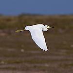 A snowy egret in flight.