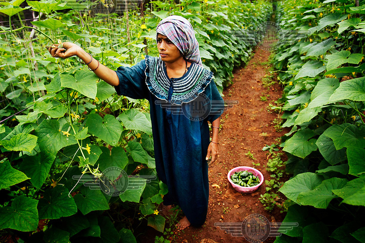 A woman picks cucumbers at her family's farm in a village near Bangalore. The woman's family works with Global Greens which buys the cucumbers, pickles them and then exports them. Global Greens is one of the only firms exporting processed foods from India back to the west.