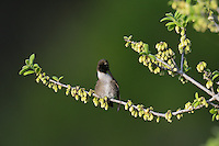 Black-chinned Hummingbird (Archilochus alexandri), adult male preening on blooming Texas persimmon (Diospyros texana), Hill Country, Texas, USA
