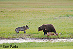 Grizzly bear and gray wolf competing for an elk carcass. Yellowstone National Park, Wyoming.