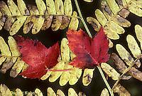 AU13-014a  Maple leaves (maple) on fern -autumn
