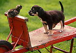 Mixed breed puppy with chick on wheelbarrow.
