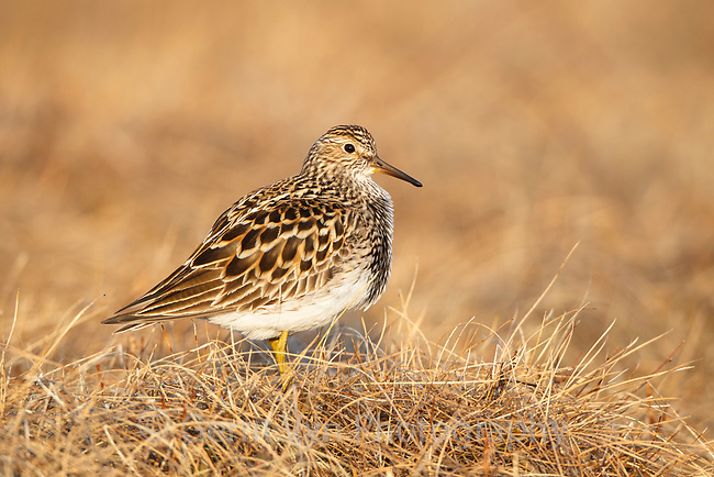 Displaying male Pectoral Sandpiper (Calidirs melanotos). Chukotka, Russia. May.