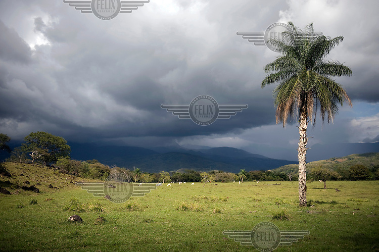 A palm tree grows near Caldera in Chiriqui Province.