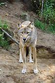 The Grey wolf looking at camera