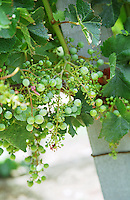 Unripe grapes. Suffering from coulure, poor fruit setting. Merlot vines. Chateau Jonqueyres, Bordeaux Superieur, Entre deux Mers, Bordeaux, France