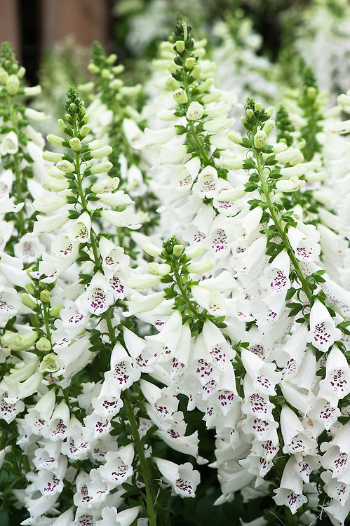 Digitalis purpurea 'Camelot White', early July.