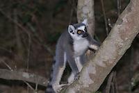 Ringstaart maki (Lemur catta), Madagascar