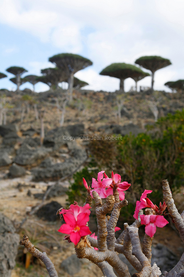 .Adenium socotranum and dragon blood tree on the Dilsam plateau  Socotra island. Yemen