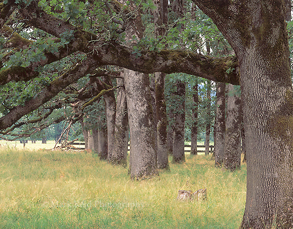 Grove of Oak trees in a meadow in Corvallis Oregon