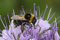 Bumble bee feeding on farm ELS wild flower mix