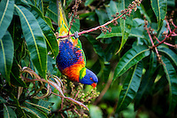 Coolangatta Queensland, Australia. (Thursday )September 29 , 2016): The Rainbow Lorikeet is unmistakable with its bright red beak and colourful plumage. Both sexes look alike, with a blue (mauve) head and belly, green wings, tail and back, and an orange/yellow breast. They are often seen in loud and fast-moving flocks, or in communal roosts at dusk. An overcast Spring day strong northerly winds, the threat of rain and thunderstorms with virtually no surf.  Two King Parrots, a male and a female spent a few hours in our garden along with the usual lorikeets. .Photo: joliphotos