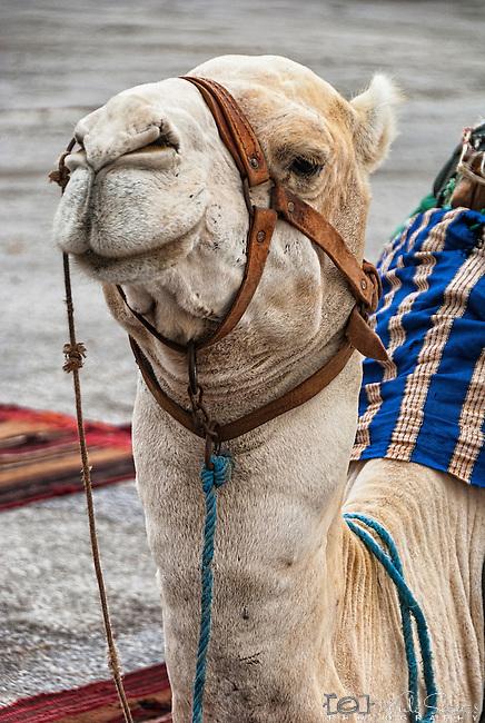 Portrait of a camel in the port town of La Goulette in Tunisia.