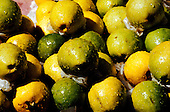 Amazon, Brazil. Goiaba (guava, Psidium pommiferum); green fruits.