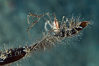 Long-legged spider crab, Macropodia rostrata, on a new kelp leaf<br /> Moere coastline, Norway