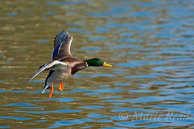 Mallard (Anas platyrynchos) male about to land on water, California, USA