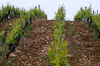 Vineyard. Domaine Henry Pelle, Menetou Salon, Loire, France