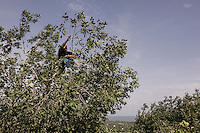 "Indonesia – Sumatra – Aceh - Indonesia China Friendship Village - Armansiah Nyong, 44-year-old father of two climbs on the trees to collect fruits for his family. In the morning of the 24th of December 2004, Nyong spotted a mass of white foam on the horizon, marching towards the shore at tremendous speed. He tried to warn the others to run away, but the waves hit him while he was still trying to escape from the coastline. ""There were bodies everywhere and people who were breaking into shops in desperate search of water"". His search for his wife and children went on for years and brought him to every displaced camp in the hope of finding his relatives alive. In 2007 he finally gave up, remarrying and rebuilding a new family, but the memories of his lost dear ones will haunt him for a long time. ""I visit Ulee Lheue two times a week to recall them: that was my house, there was my childhood playground""."