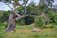 An emu roaming in the Australian bush.